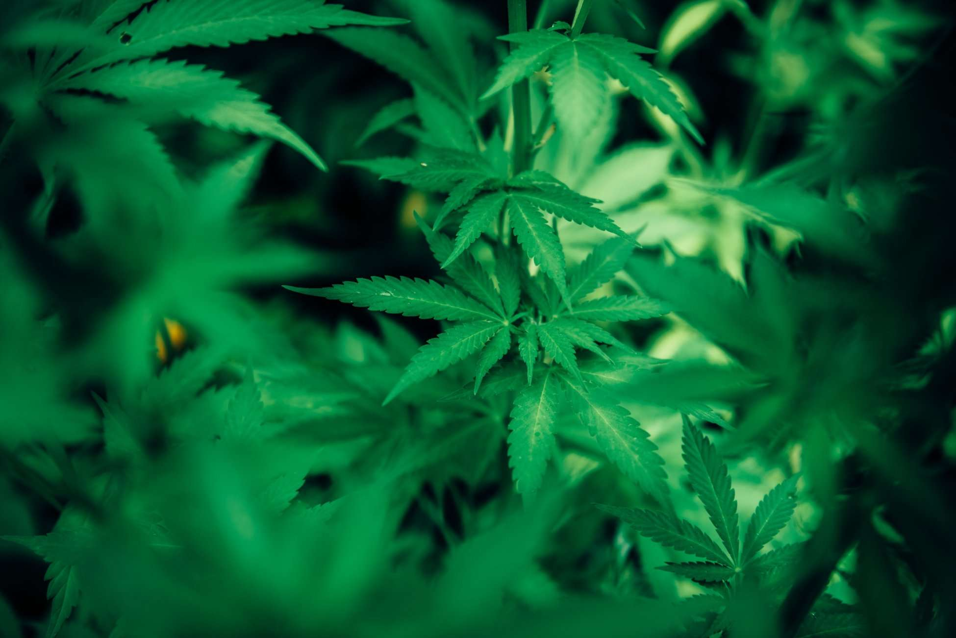 marijuana properties; cbd and thc